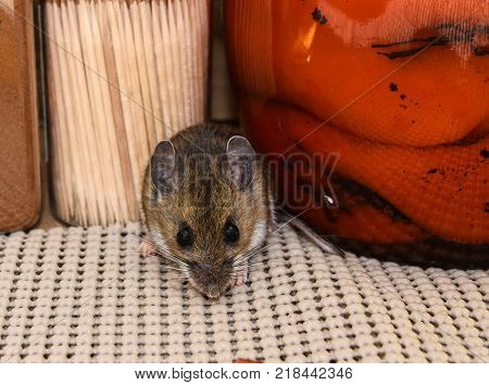 A close up and frontal view of a house mouse or Mus musculus, between food products in a kitchen cabinet.