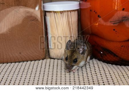 A frontal view of a brown house mouse or Mus musculus, in a kitchen cabinet with jars of food and toothpicks in the background.