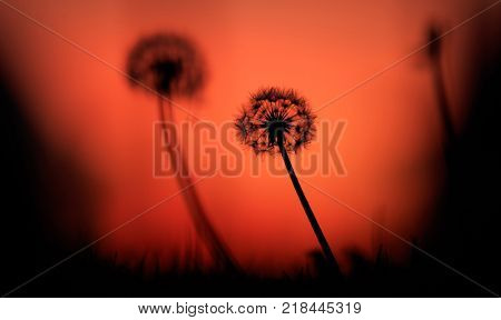 Dandelions silhouettes at sunset, orange sky background