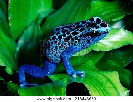 blue color poisoners frog sit in leaf