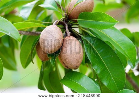 sapodilla plum or chiko on the tree with green leaves