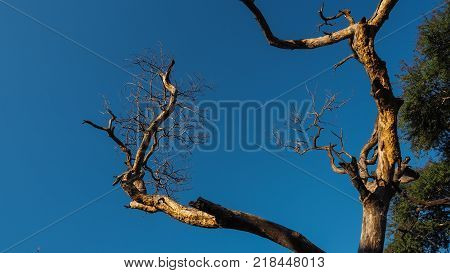 Dead tree with blue sky in the background and some trees