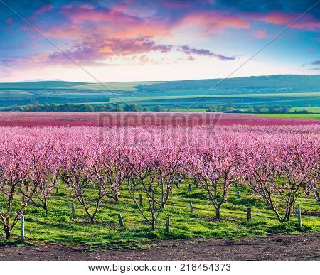 Flowering peach orchards near Istanbul. Beautiful outdoor scenery in Turkey Europe. Colorful sunrise in the peach garden in April. Artistic style post processed photo.