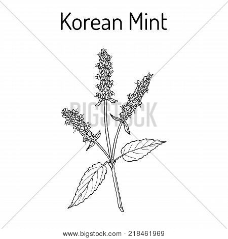 Korean mint Agastache rugosa , or blue licorice, purple giant hyssop, medicinal plant. Hand drawn botanical vector illustration