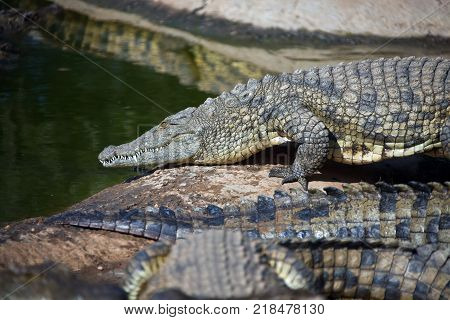 Nile crocodile goes from the shore into the water. Adult large African crocodile.South Africa