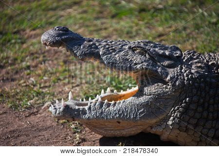 Nile crocodile with open mouth and closed eyes. Large adult African crocodile shows his teeth. South Africa