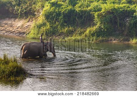 CHITWAN NEPAL - September 28 2013: Elephant with a guardian while bathing in the river in the Royal Chitwan National Park. The park is 932 sq. km is mainly covered by jungle.