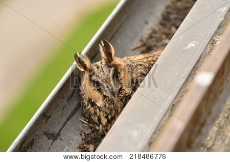 The long-eared owl Asio otus . The long-eared owl female hatches on eggs in gutter. Bird in the nature habitat.
