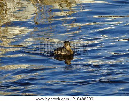 Little grebe on river in its winter plumage