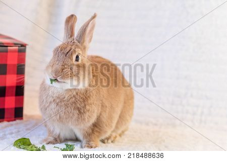 Beautiful tan and rufous domestic bunny rabbit surrounded by plush fabrics in muted palette and red and black box munches on kale