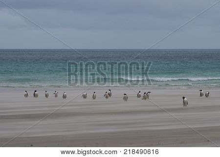 Gentoo Penguins (Pygoscelis papua) coming ashore across a windswept sandy beach at The Neck on Saunders Island in the Falkland Islands.