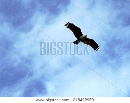 Big carnivorous bird in the sky, India