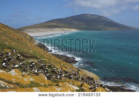 Black-browed Albatross (Thalassarche melanophrys) colony on the cliffs of Saunders Island in the Falkland Islands.