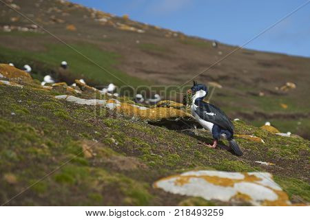 Imperial Shag (Phalacrocorax atriceps albiventer) carrying nesting material on the cliffs of Saunders Islands in the Falkland Islands.