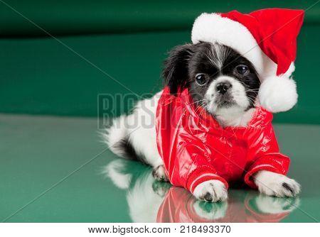 Santa Clous - shih tzu