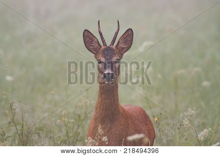 Roe deer, capreolus capreolus, in the mist. Wild roebuck on a meadow with flowers and fog in background.