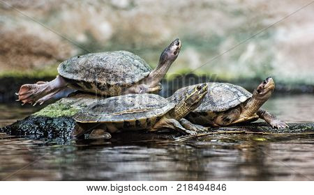 Turtles are heated on the stone. Humorous animal scene.