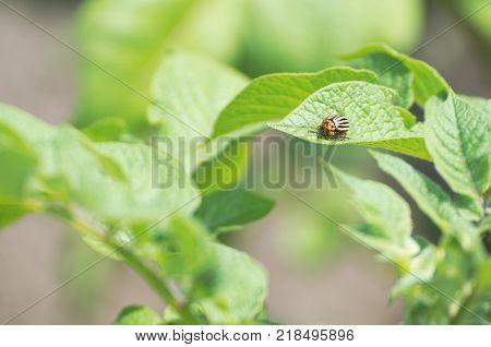 One Colorado Potato Beetle on Green Potato Leaves