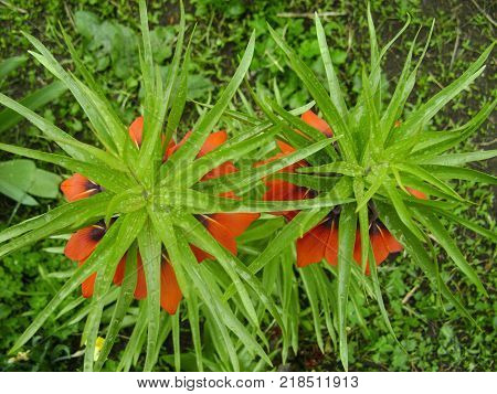 Blooming crown imperial in spring garden. Crown imperial fritillary Fritillaria imperialis flowers. Orange color of the flowers and with green color of leaves.