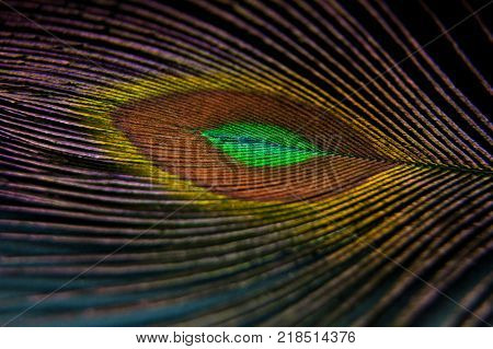Beautiful colorful peacock feather. Artistic macro photo