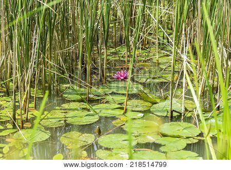 riparian pond scenery including some pink colored water lilies