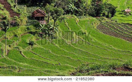 Terrace Rice Field