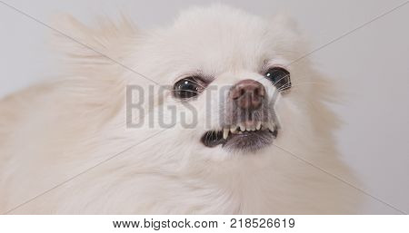 Barking Pomeranian dog
