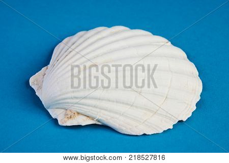 Close up of ocean shellfish sea shell isolated on blue summer background. Marine theme concept.