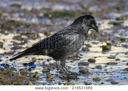 A Carrion crow looking for food on a tidal mud flat