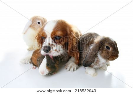 Animal friends. True pet friends. Dog rabbit bunny lop guinea pig animals together on isolated white studio background. Pets love each other. Cute. Animal group.
