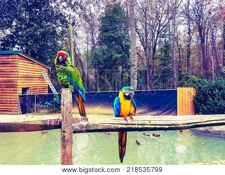 Two male and female Macaw birds are perched together on a wooden fence in dramatic decadent colors.