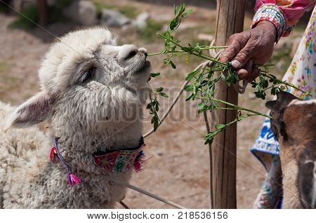 Lama and Alpaca in Andes Mountains, Peru, South America.