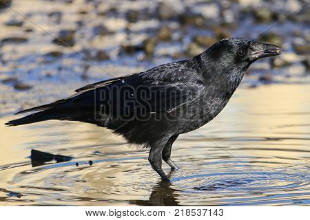 A Carrion crow standing in a shallow pool of water