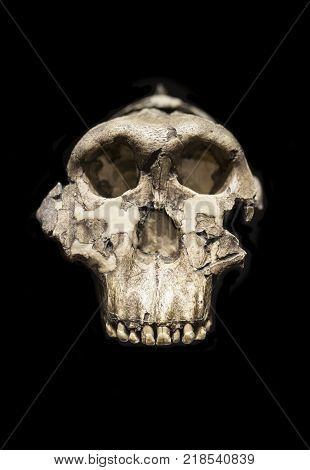 Madrid Spain - November 11 2017: Adult Male cranuim of Paranthropus boisei or Australopithecus bosei. Also called OH 5. Zinj. Dear Boy. Nutcrakerman. Replica. National Archeological Museum Madrid
