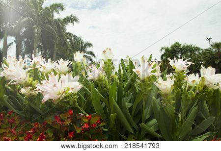 Siam Tulips Blooming In Chiang Mai