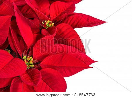 Close up of a red poinsettia Christmas Star flower (Euphorbia pulcherrima). Isolated on white with copy space.
