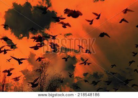 A flock of black birds flying in the sky. Birds fly in a very terrible sky. Birds of ghosts in the orange sky