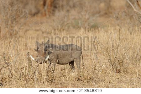 Large Warthog in Tarangire National Park