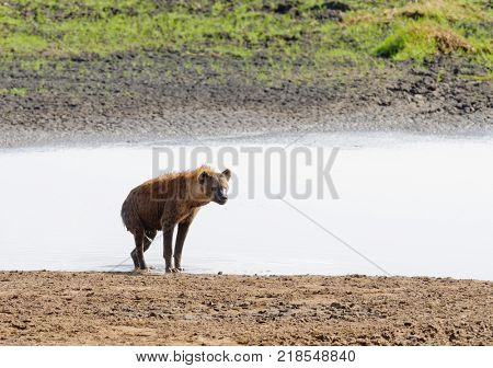 Closeup of Spotted Hyena getting out of a pond where it cooled off (scientific name: cCrocuta crocuta, or
