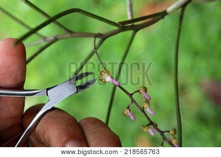 Little beautiful orchid with pruning shears Rhynchogyna luisifolia.