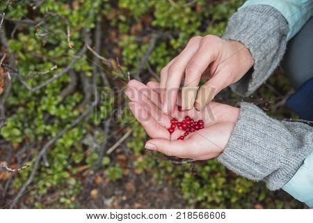 Red fresh cowberry in hands. Travel food