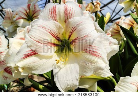 Large trumpet like white with a touch of pink Amaryllis flowers.