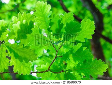 Spring oak leaves on a background of a blurred oak tree