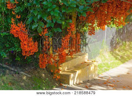 Orange Flower Of Name Red Jade Vine Or New Guinea Creeper Or Flowers.