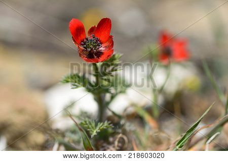 Pheasant's-eye (Adonis annua) in flower. Plant in the buttercup family (Ranunculaceae) growing on hillside in Azerbaijan