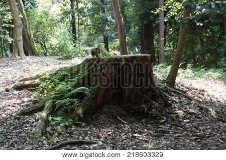 Old tree stump, felled tree in the forest