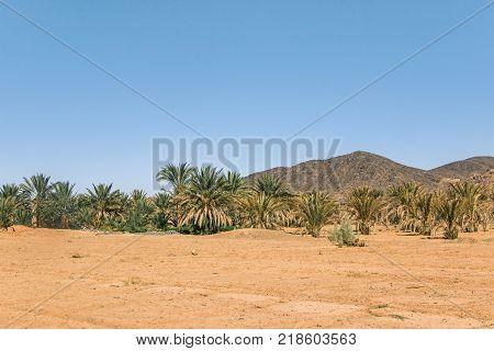 green palm trees growing in sahara desert