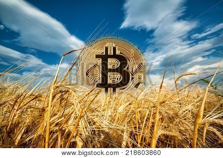 Bitcoin rising from ripe ears of wheat. Gold bitcoin rising from the ripened wheat ears under the blue sky. The concept of a new era of bitcoin.