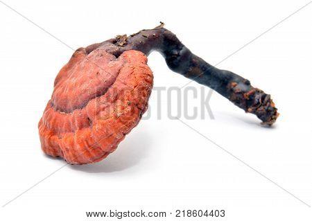 lingzhi mushroom or reishi ganoderma lucidum on white