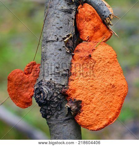 red pycnoporus cinnabarinus mushroom on a branch